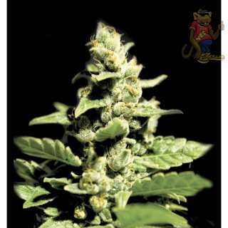Greenhouse Green-O-Matic Seeds 5er