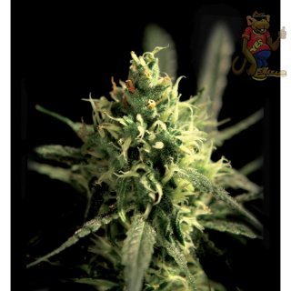 Greenhouse Lemon Skunk Seeds