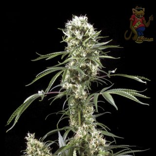 Greenhouse Super Lemon Haze Seeds