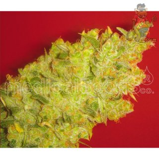 Medical Seeds Jack la Mota Seeds