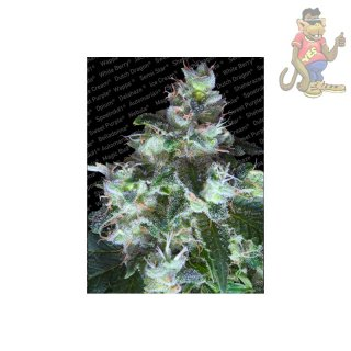 Paradise Seeds Original White Widow Seeds