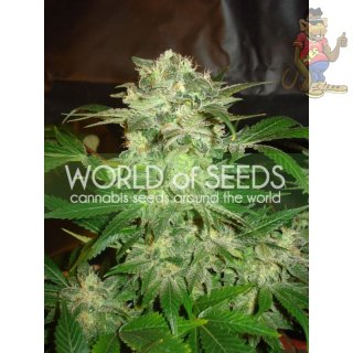WOS Mazar Kush Seeds Legend Collection Seeds