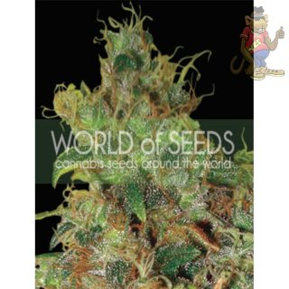 WOS Northern Light x Skunk Seeds Medical Collection Seeds