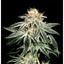 Greenhouse White Widow Seeds 5er