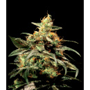 Greenhouse Kings Kush Seeds 5er