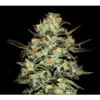 Greenhouse Moby Dick Seeds 5er