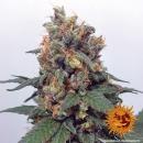 Barneys Farm Vanilla Kush Seeds 3er