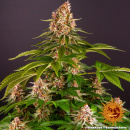 Barneys Farm Pink Kush Seeds