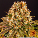 Barneys Farm Strawberry Lemonade Seeds