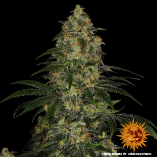 Barneys Farm Blue Gelato 41 Seeds