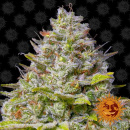 Barneys Farm Blue Gelato 41 Seeds 3er
