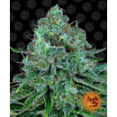 Barneys Farm Critical Kush Seeds 5er