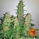 Barneys Farm Critical Kush Seeds