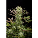 DINAFEM Deep Cheese Seeds 5er