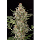 DINAFEM Cheese AUTO Seeds 5er