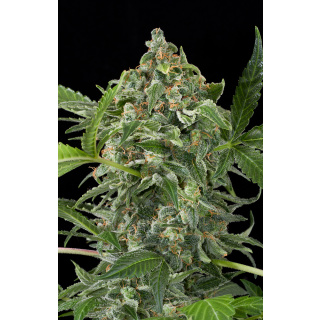 DINAFEM White Cheese AUTO Seeds