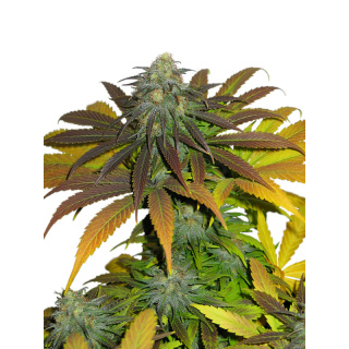 Dutch Passion California Orange Seeds