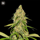 Bulk Seed Bank - Auto CBD White Widow 10er Packung...