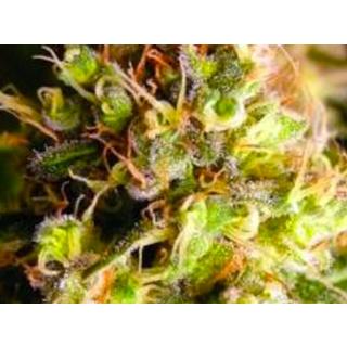 king_kong_cannabis_clones