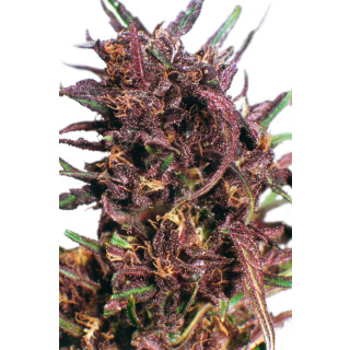 Dutch Passion Purple #1 Seeds