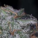 Paradise Seeds Nebula Seeds