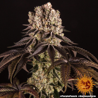 Barneys Farm Purple Punch Seeds
