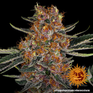 Barneys Farm Purple Punch AUTO Seeds
