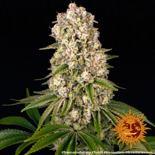 Barneys Farm Tropicanna Banana Seeds