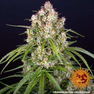 Barneys Farm Wedding Cake AUTO Seeds