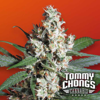 Paradise Seeds L.A. Amnesia Seeds