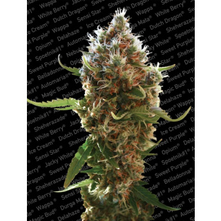 Paradise Seeds Lucid Bolt Seeds