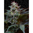 Paradise Seeds Sweet Purple Seeds 10er