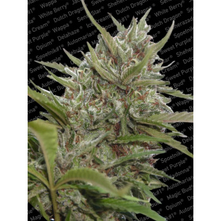 Paradise Seeds White Berry AUTO Seeds