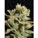 Paradise Seeds Dutch Dragon Seeds 5er