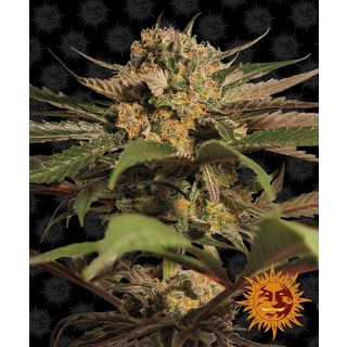 Barneys Farm Violator Kush Seeds