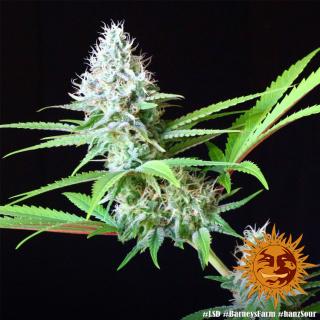 Barneys Farm LSD Seeds