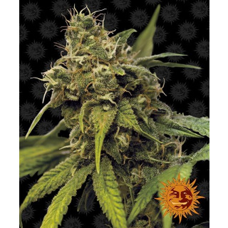 Barneys Farm Utopia Haze Seeds