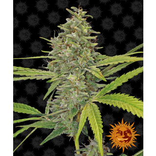 Barneys Farm G 13 Haze Seeds