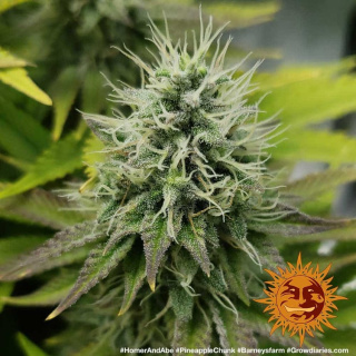 Barneys Farm Pineapple Chunk Seeds