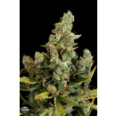 DINAFEM Cheese Seeds 10er