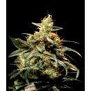 Greenhouse Kings Kush Seeds 10er