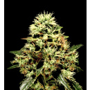 Greenhouse Super Bud Seeds 10er