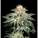 Greenhouse White Widow Seeds 10er