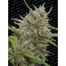 Paradise Seeds White Berry AUTO Seeds 10er