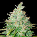 WOS Afgan Kush x Black Domina Seeds Medical Collection...