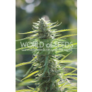 WOS Colombian Gold Seeds Pure Origin Collection Seeds 12er