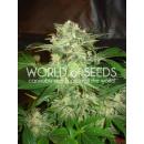 WOS Mazar Kush Seeds Legend Collection Seeds 12er
