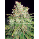 WOS Mazar x Great White Shark Seeds Medical Collection...
