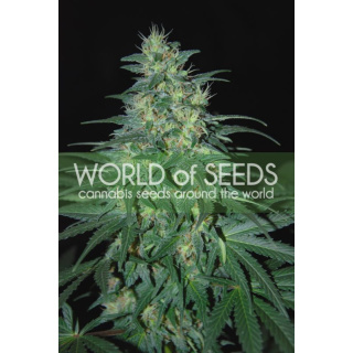 WOS South African Kwazulu Seeds Pure Origin Collection Seeds 12er