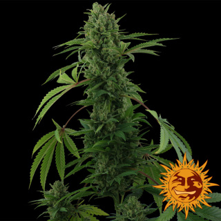 Barneys Farm Pineapple Express AUTO Seeds